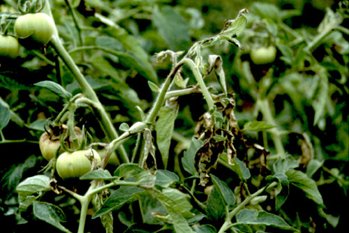 infected tomatoes essays
